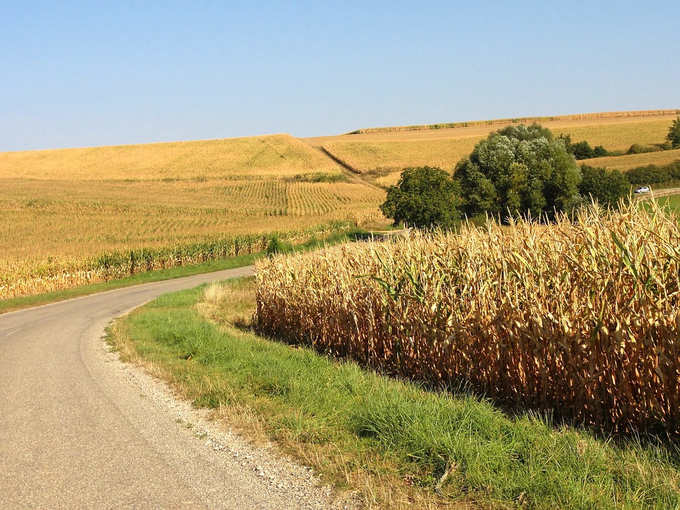 corn_by_road