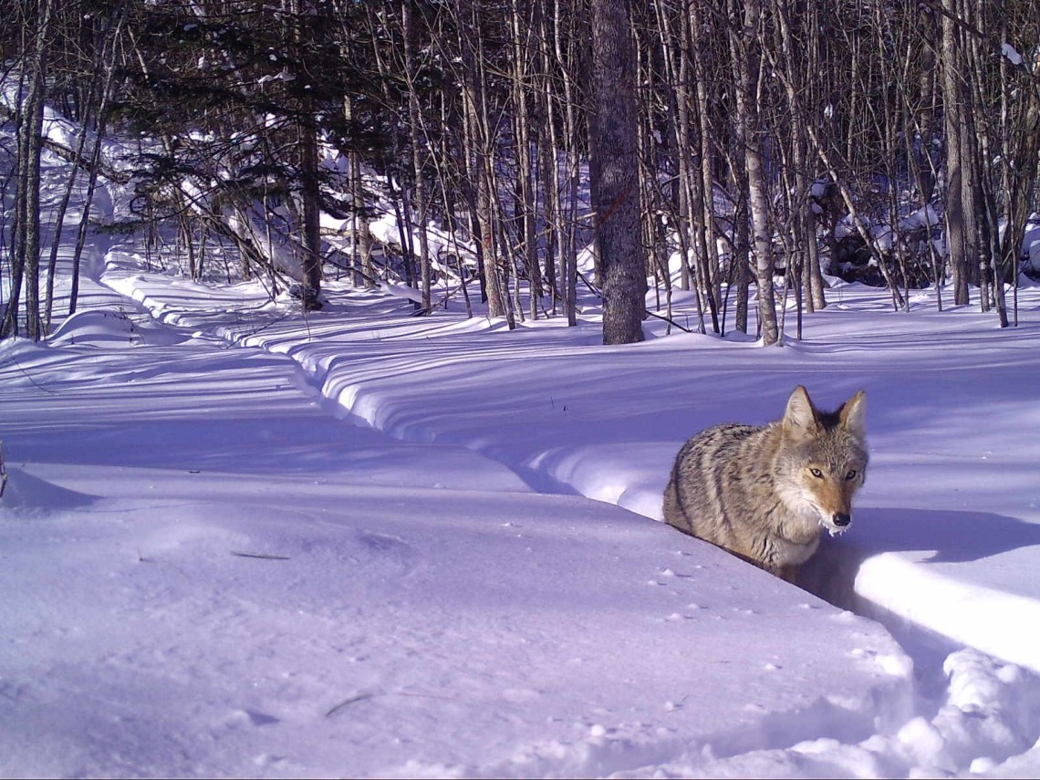 frosty_coyote_walking_in_snow