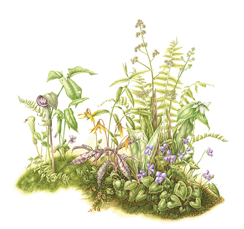 BotanicalArt-LoRes-RogersKnox-WoodlandWildflowers