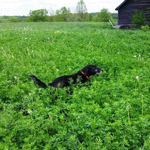 Monster - dog running in field